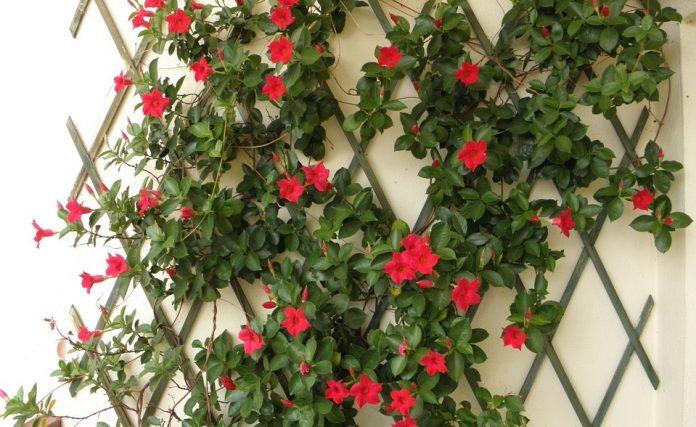 Dipladenia: come coltivarla in giardino o sul balcone
