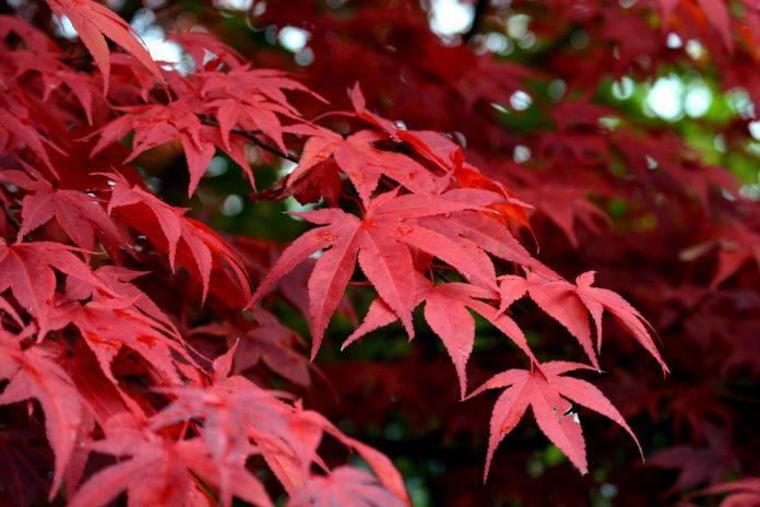 Acero rosso giapponese come coltivarlo in vaso o nel giardino for Acero giapponese in vaso