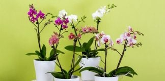 Come-coltivare-le-orchidee