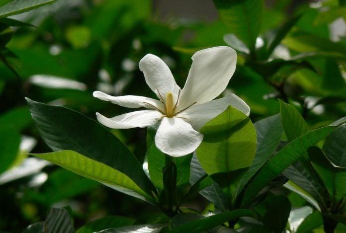 Gardenia come coltivare la pianta in vaso o in giardino - Gardenia pianta da giardino ...