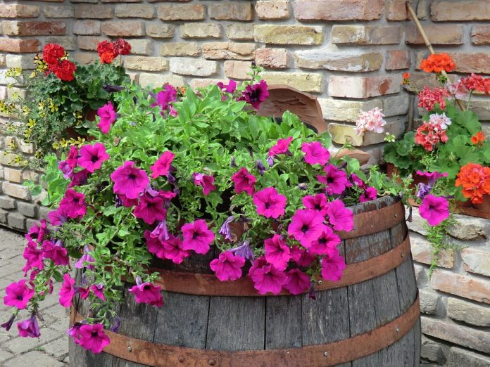 Fiori estivi 4 variet facili da coltivare in vaso o nel for Fiori estivi perenni