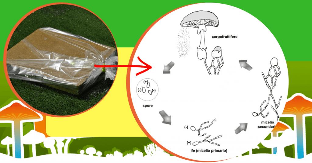 come coltivare funghi in casa - come funziona Spora