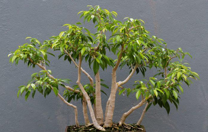 Superior Il Ficus Benjamin è Una Pianta Molto Resistente, Originaria Delle Zone  Tropicali Dellu0027Asia E Dellu0027Australia. Il Suo Tronco Caratteristico è Molto  Apprezzato ...