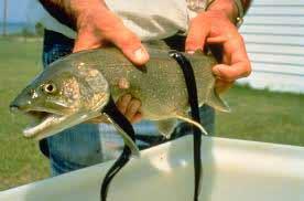 Galuchat-pesce