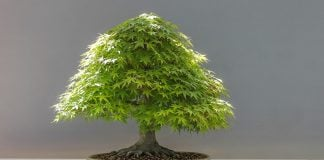 Come-curare-un-bonsai