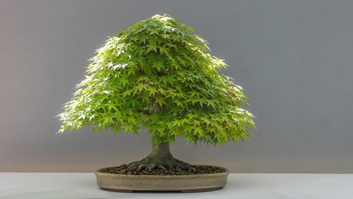Come Curare Un Bonsai Guida Completa Alla Coltivazione