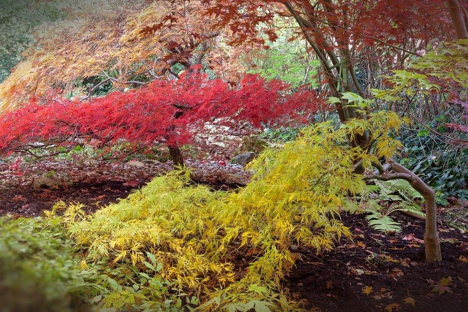 Acero rosso giapponese come coltivarlo in vaso o nel giardino for Acero rosso giapponese
