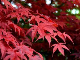 Acero-rosso-giapponese