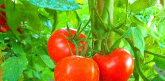 Come-coltivare-i-pomodori