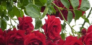 rose-rampicanti