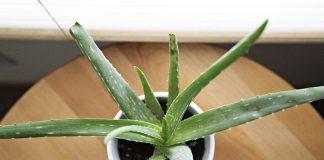 Aloe-vera-coltivazione
