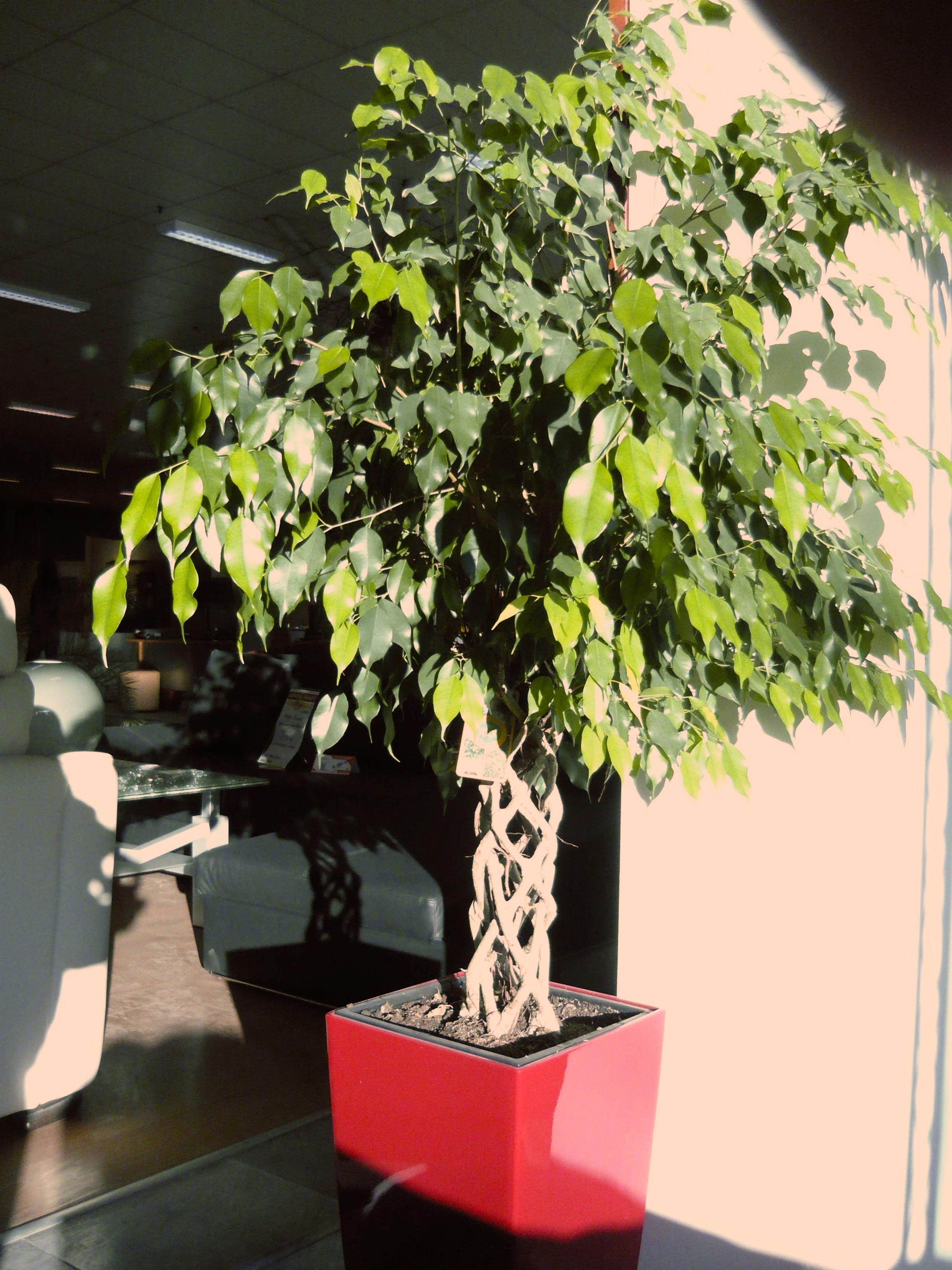 Ficus Benjamin Come Coltivarlo E Quali Sono Le Malattie Piu Comuni